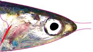 Pro Fish Foil - Anchovy